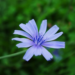 chicory flower (SS) Tags: blue autumn light italy flower verde fall nature colors composition contrast garden square photography countryside focus dof angle pentax crash pov walk perspective meadow gimp september greens framing fiore lazio k5 celeste blooming cicoria