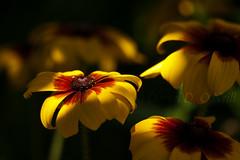 Rudbeckia 21 (LongInt57) Tags: shadow red orange brown canada flower green nature sunshine yellow garden petals bc blossom okanagan bloom kelowna rudbeckia
