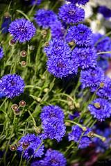 Rich and Royal (Jocey K) Tags: christchurch newzealand flower spring cornflowers
