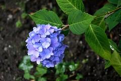 hortensia (roman25a) Tags: kwiat