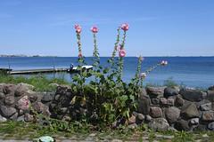 Hollyhocks at Dragr (Heathermary44) Tags: outdoor stonewall flowers hollyhocks sea horizon rsund dragr denmark charrm boat bathingbridge summer sky