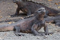 Iguanas at Isabela Island, Galápagos, Ecuador