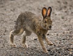 Snowshoe Hare in Denali (alicecahill) Tags: alaska usa wild wildlife denalinationalpark mammal nationalpark rabbit ak alicecahill hare denali snowshoehare animal