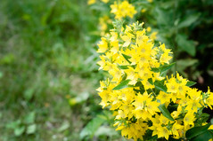Flowers - New Brunswick 2016 (Geekgirly) Tags: 2016 geekgirly wwwgeekgirlyca fredericton newbrunswick nb flowers floraandfauna flora nikon d300 85mm