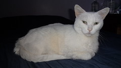 Mystic (universalcatfanatic) Tags: cats mystic white cat green eyes eye lay laying bed bedroom matress blue sheet sheets brown wood wooden nightstand night stand sick ill fading dying kidney failure renal disease
