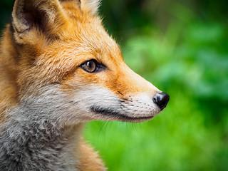 Red Fox - Greifvogelpark Saarburg, Germany