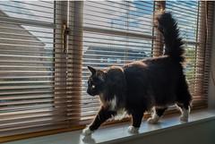 Exploring the widow ledge ( Percy the cat) (Fujifilm X70 28mm f2.8 Compact) (1 of 1) (markdbaynham) Tags: cat feline pet cute percy fuji fujiuk fujix transx apsc 16mp x70 28mm f28 fixed prime compact fujinon