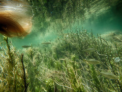 Back in school (flowerweaver) Tags: river underwater swimming longhair parasiticplant dodder waterwillow fish schooloffish aquaticplants reflections ripples movingwater teal dream dreamy ethereal magical surreal me self selfie woman sooc