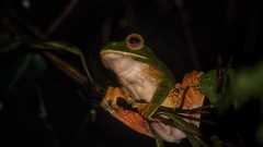 In the rainforest (Luc1659) Tags: frog foresta madagascar