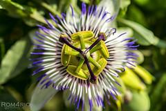 Passiflora (Rom4rio Photography) Tags: nikon nikond3100 nikkor natura nature allaperto outdoor flower fiore fioritura floare passiflora fioredellapassione passionflower d3100
