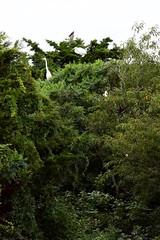 in the bush (primemundo) Tags: egrets birds bush