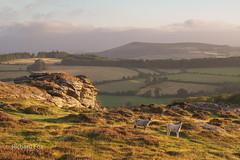 Sugar for my Honies (http://www.richardfoxphotography.com) Tags: honeybagtor sunrise dartmoor easdon tor sheep