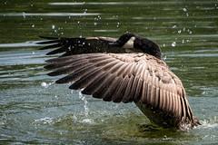Cooling off (Evoljo) Tags: shaftsburylake water lake swindon wiltshire goose feathers spash bird nikon d500