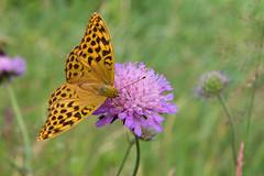 Schmetterling (marcel_erdmann_erfurt) Tags: schmetterling pflanze umwelt schweden schmetterlinge inseckten tier diewelt europa blumen se sverige theworld