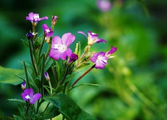 In the wild (dlanor smada) Tags: nature flowers purple green