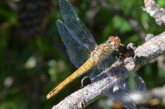 Dragonfly, Explored, best # 26 on Sep. 27, 2016 (presbi) Tags: macro libellula alouette dragonfly damselfly