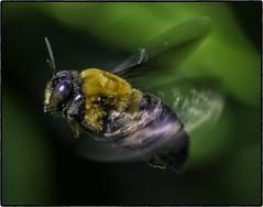 Bee_SAF7331-3 (sara97) Tags: missouri bee copyright2016saraannefinke flyinginsect insect nature outdoors photobysaraannefinke pollinator saintlouis towergerovepark
