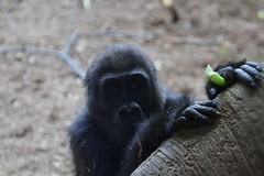 Curious Baby Gorilla (praja38) Tags: curious baby caps cap capricorn gorilla nature wild life wildlife humour toronto zoo ontario canada canadian mammal ape primate nneka female