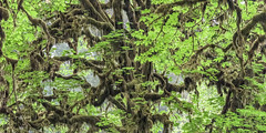 Fuzzy (Murphy Osborne Photo) Tags: tree fuzzy moss lichen leaves branches trees forest rain green droopy fuzz jacket nature photography abstract art fine