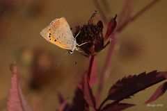 IMG_007801_k - First day of autumn (Monique van Gompel) Tags: explore herfstdag butterfly butterflies insect insecta insects canon canoneos750d 750d nature natuur wildlife vuurvlinder kleinevuurvlinder lycaenaphlaeas lycaena phlaeas dagvlinder autumn herfst