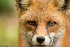 Dans les yeux du renard (Chronique d'un chasseur d'images) Tags: renard goupil fox animal animaux redfox renardroux nature portraitanimalier 2014 watcher naturewatcher