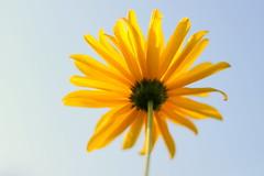 Marguerite / Daisy (dbrothier) Tags: daisy marguerite macromondays canonef50mmf14usm smileonsunday fabulousflowers 7dwf flickr13