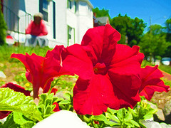Beauty & Earth #painting (2 - 2) | Petunia (Stephenie DeKouadio) Tags: canon photography outdoor flowers flower petunia painting art plant woman red