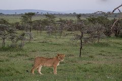 Lost? (Hector16) Tags: kenya2014willdlife 2014 kenya wildlife accacia africa naboishoconservancy olseki young naboisho lion hemingways mara masaimara