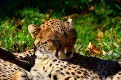 Cheetahs (gary.tootle17) Tags: 25faves rest tired sleeping sleep nikon cheetah cats cat