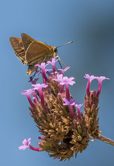 (digiphotonut) Tags: butterfly edgewood insect kentucky macro skipper