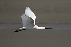 Royal Spoonbill (Alan Gutsell) Tags: birds newzealand alan wildlife nature photo newzealandbird birding royal spoonbill royalspoonbill wader wading estuaries water north south island