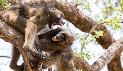 baboons fighting (florianfrey) Tags: sun evening gold yellow hill tree forest light