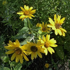 Aurora, Waubonsie Lake Park, Rough Ox Eye or False Sunflower (Heliopsis helianthoides) (Mary Warren (7.3+ Million Views)) Tags: aurorail lakewaubonsie nature flora plants green yellow blooms blossoms flowers oxeye heliopsishelianthoides
