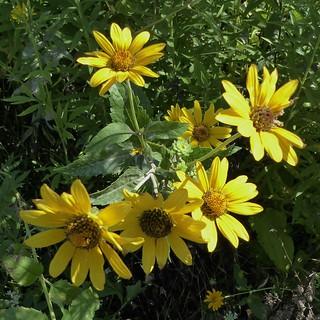Aurora, Waubonsie Lake Park, Rough Ox Eye or False Sunflower (Heliopsis helianthoides)
