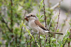 Red-backed Shrike fem with prey (Baractus) Tags: john oates turkey redbacked shrike