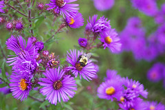 Purple asters with bee (Hodgey) Tags: flowers aster purple bee maine fall