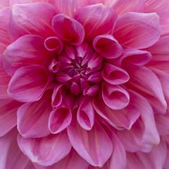 Pink Dahlia (Eddie Hyde) Tags: rhswisley flowers