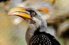 "Gelbschnabeltoko ""Yellow-Billed Hornbill"" (Tockus Flavirostris) 4648 (fotoflick65) Tags: portrait bird animal zoo colorful leo head iso400 beak nocrop 32 animalplanet f4 hornbill nahaufnahme vogel pp schnabel toko kopf leopold bof birdportrait wels animalportrait backgound fl300 yellowbilled flavirostris bestanimalportrait tockus 300mmf4d gelbschnabeltoko tierportrait ym11 flickriver d7000 kepplinger st640 y2012 fl250300 st400800 fotoflick65 ni300"