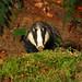 Badger  Notts WT (cpt Jon Hawkins)
