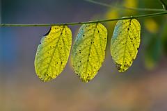 t(h)ree leaves (Frau Holle2011) Tags: autumn tree leaves germany bavaria three herbst bltter
