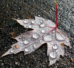 05-11-12 Water Drops In The Sun On A Leaf (DJ's Photography@dj777_100er Always Catching Up) Tags: a199