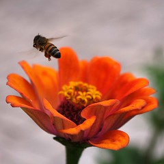 take off (SS) Tags: camera light italy orange flower macro colors composition contrast square photography countryside focus dof angle pentax pov details perspective september bee crop zinnia fiore k5