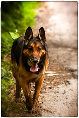 German Shepherd Dog (Jaromir Tretina) Tags: dog pet animal animals fauna wolf europe breed germanshepherd alsatian soe doggie k9 deutscher schferhund shieldofexcellence jaromirtretina jetevere videographyperth videographyperthcom