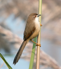 Yello-eyed Babbler (Koshyk) Tags: bird birding birdwatcher haryana babbler rohtak supershot mywinner yelloweyedbabbler chrysommasinense flickrdiamond goldstaraward sampla karor