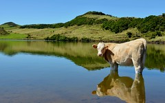 .... heat .... ( pedrosilva) Tags: lake portugal water animal gua espelho lago island mirror cow lac pic pico heat lagoa miroir ilha vache vaca azores calor tang aores le capitaine capito chaleur ilhadopico madeinportugal pedrosilva maravilhasdeportugal flickraward bestcapturesaoi mygearandme mygearandmepremium mygearandmebronze mygearandmesilver mygearandmegold mygearandmeplatinum mygearandmediamond flickrawardgallery flickrsfinestimages1 flickrsfinestimages2 flickrsfinestimages3 pedrosilva