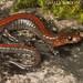 Southern Redback Salamander