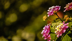 Flower bokeh!!! (HareshKannan) Tags: pink flower color colour nikon bright bokeh colourfull 55200mm d3100