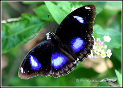 2606 - danaid eggfly male (chandrasekaran a 30 lakhs views Thanks to all) Tags: india male nature insects chennai danaideggfly thegalaxy canon60d