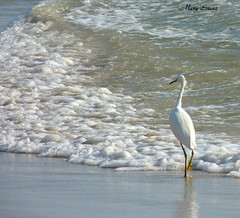 (snoopydoobiedog~) Tags: white bird beach nature water birds coast surf florida wildlife panasonic daytonabeach egret panasonicdmcfz35 dailynaturetnc12 lifetnc12
