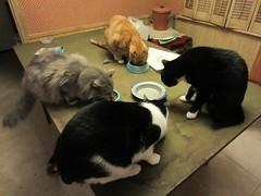 Dinner is served (Philosopher Queen) Tags: food cats dinner pumpkin friend eating bruce jet fluff kitties maryann